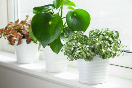 Photo pour houseplants fittonia albivenis and peperomia in white flowerpots - image libre de droit