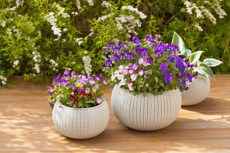 Foto für Beautiful pansy summer flowers in flowerpots in garden - Lizenzfreies Bild