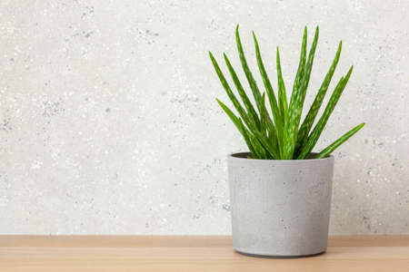 Photo for green houseplants succulent aloe vera - Royalty Free Image
