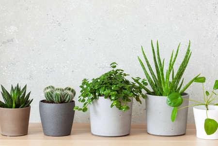 Photo for green houseplants succulent aloe vera, gasteria duval, pilea depressa, parodia warasii - Royalty Free Image