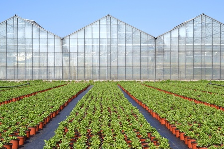 The poppy or somniferum in voorschoten is a grower plants ready to go to the centre to be transported if they on cultivation