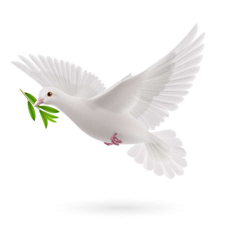 Dove of peace flying with a green twig olive after flood on white background