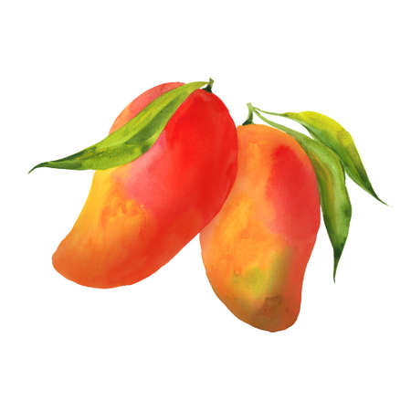 mango with leaves, watercolor illustration  on white background