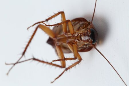 Photo pour The cockroach isolated on the white background. - image libre de droit