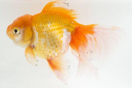 Photo pour Beautiful Orange Oranda Goldfish (Carassius auratus) diving in fresh water glass tank isolated on white background - image libre de droit