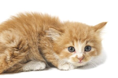 Photo pour A Beautiful Mixed Domestic Orange cat , funny positions. Animal portrait isolated on white background. - image libre de droit