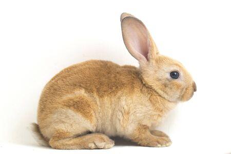 Foto de Cute red brown rex rabbit isolated on white background - Imagen libre de derechos