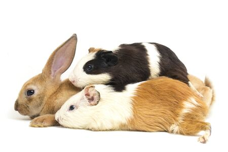 Photo for Cute little rex Orange rabbit and guinea pig isolated on white background - Royalty Free Image