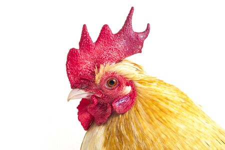 Photo pour Rooster bantam chicken or Ayam kate is any small variety of fowl, especially chickens isolated on white background - image libre de droit