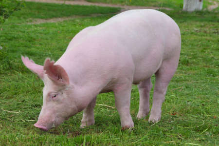 young pig breeds