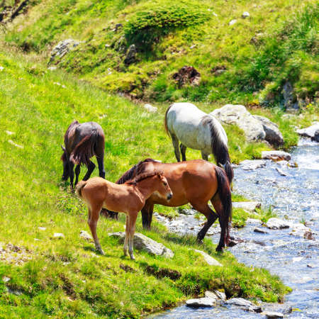 Horses herd on the pasture in the mountains