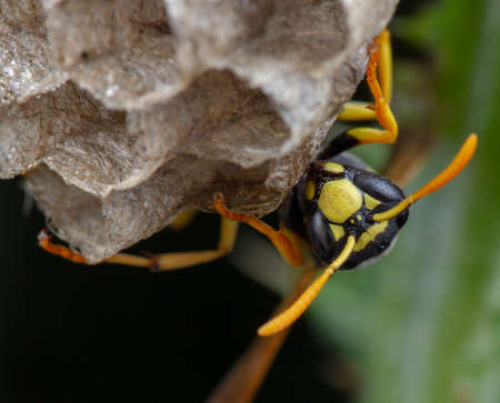 European Polistes galicus wasp hornet taking care of his nest and larvae