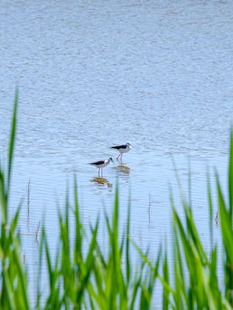 Photo pour Black-winged lapwings on stilt legs search for food in shallow water on a sunny day against the backdrop of green grass. Bird life in the wild. - image libre de droit