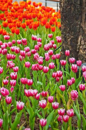 Red tulips in garden Thailand