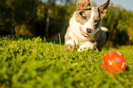 Photo pour Dog is playing with a ball in garden - image libre de droit