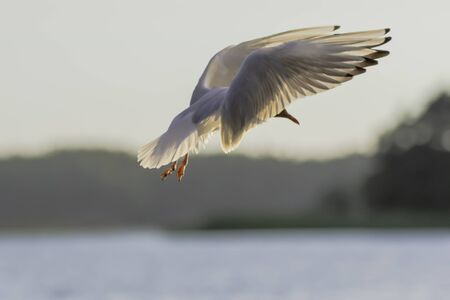 Photo pour Black Headed Gull coming in for a landing in the Finnish Archipelago . - image libre de droit