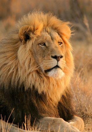 Photo pour Portrait of a big male lion, South Africa - image libre de droit
