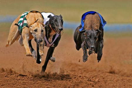Photo pour Greyhounds at full speed during a race - image libre de droit