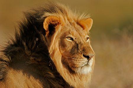 Photo pour Portrait of a big male African lion (Panthera leo), Kalahari, South Africa - image libre de droit