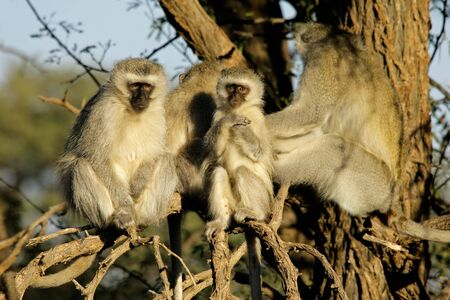 Vervet monkeys (Cercopithecus aethiops) sitting in a tree, South Africa