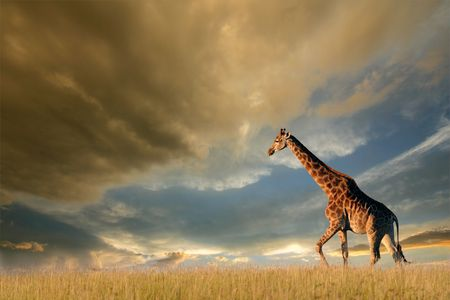 A giraffe walking on the African plains against a dramatic sky