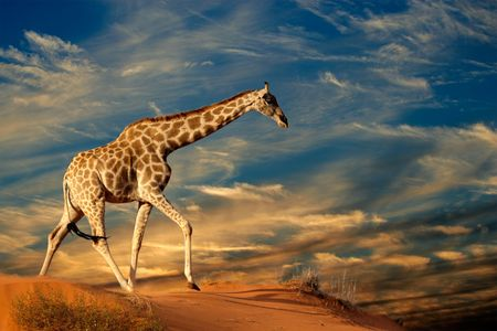 Photo for Giraffe (Giraffa camelopardalis) walking on a sand dune with clouds, South Africa - Royalty Free Image