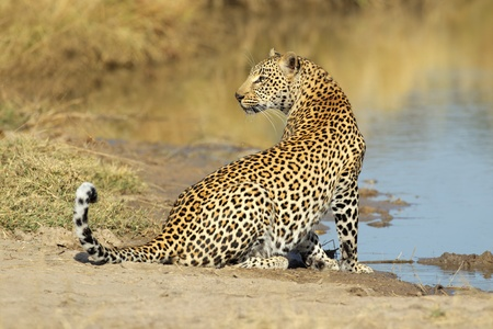 Male leopard (Panthera pardus) at a waterhole, Sabie-Sand nature reserve, South Africa
