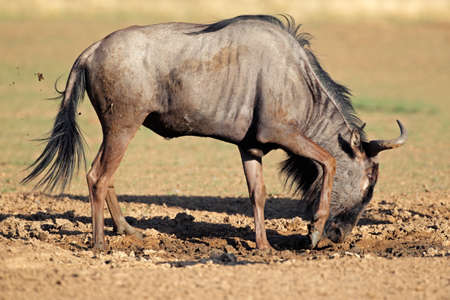 Blue wildebeest (Connochaetes taurinus) playing in the mud, Kalahari desert, South Africa
