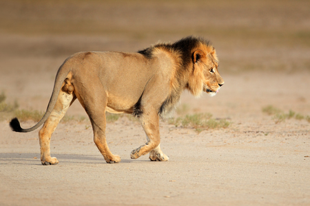 Big male African lion - Panthera leo - walking, Kalahari, South Africa