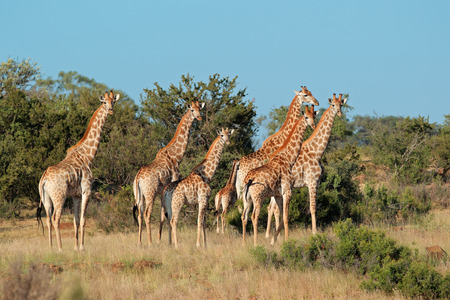 Small herd of giraffes Giraffa camelopardalis in natural habitat, South Africa