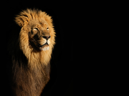 Photo for Portrait of a big male African lion Panthera leo against a black background, South Africa - Royalty Free Image