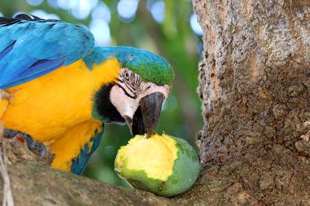 Photo pour Blue-and-yellow macaw (Ara ararauna) - Pantanal, Mato Grosso, Brazil - image libre de droit