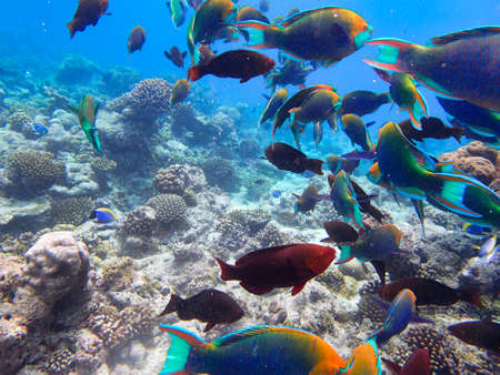 Photo pour Parrotfishes (Scaridae) - Kuramathi Maldives - image libre de droit
