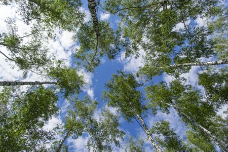 Blue sky with birch trees in spring