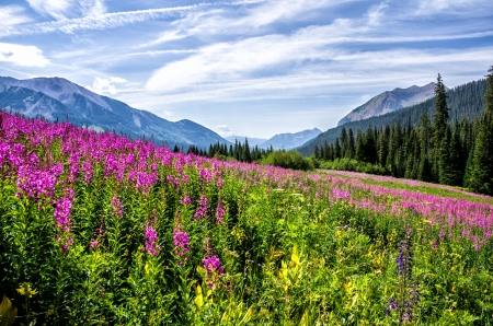 Fireweed highlights the view along the road near Gothic Colorado looking south to Crested Butte