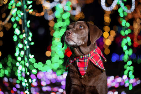 Labrador Retriever dressed in Christmas Theme with lights in the background. Taken in Lafarge Lake, Coquitlam, Vancouver, BC, Canada.