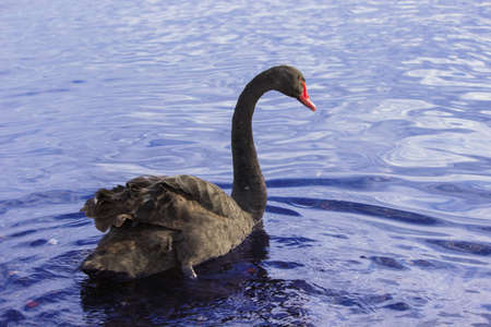A black swan swimming in a lake