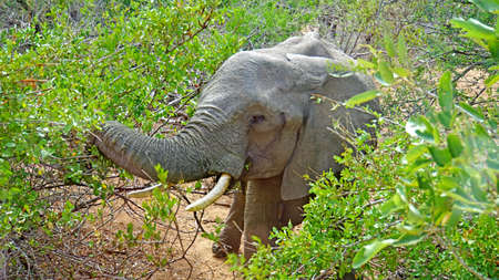 A elephant in Kruger National Park in South Africa