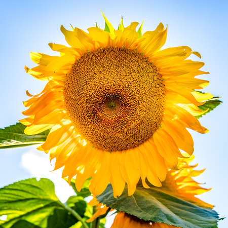 Gloriously blooming sunflower