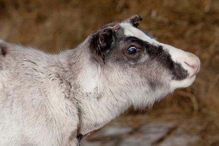 Portrait of  baby deer (Rangifer tarandus)