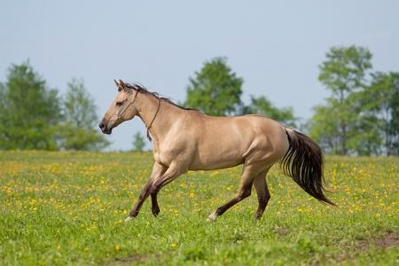 Akhal Teke Mare Galloping