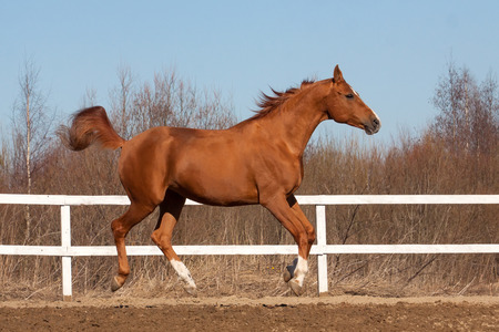 Beautiful mare of Russian Don breed gallops in equestrian arena