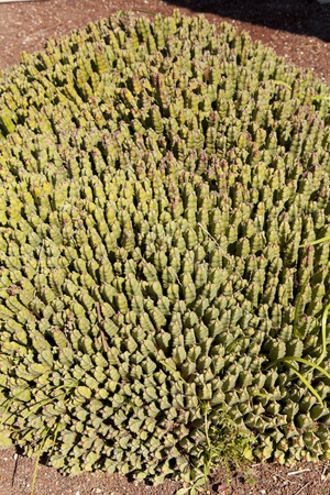 The resin spurge  Euphorbia resinifera  is a monoecious shrub, fleshy, cactiforme