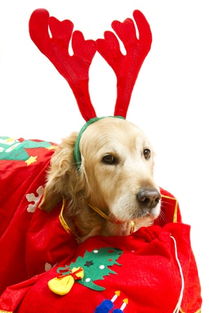 Dog dressed as Santa Claus with gifts on a white background