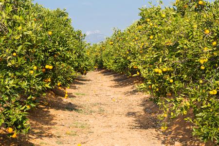 Foto de Trees with orange typical in the province of Valencia, Spain - Imagen libre de derechos