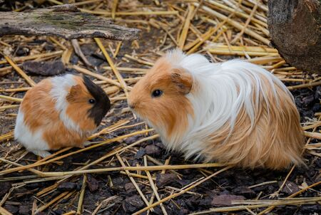 A guinea pig is sitting face to face with it's little baby.の写真素材