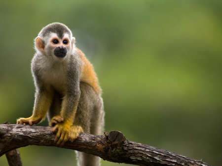 Squirrel monkey in a branch