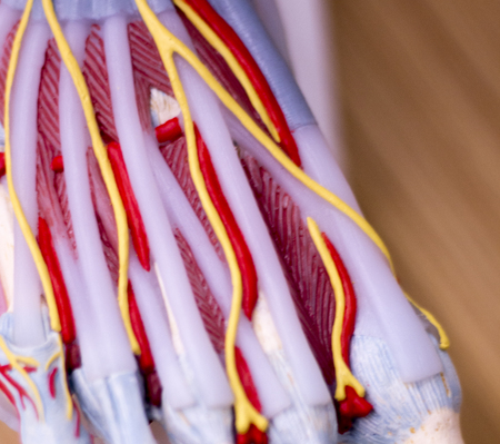 Foot medical study student anatomy model showing bones, toes, tendons, ligaments and veins for teaching in clinic.