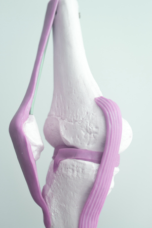 Human knee joint meniscus medical teaching model showing bones and anterior cruciate ligaments tendons.