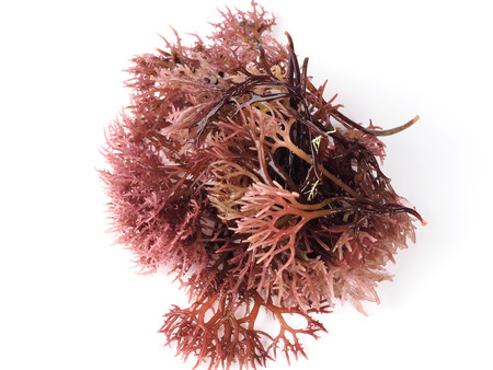 Photo for Gigartina Pistillata  Edible red seaweed in the family Gigartina. Binomial name: Gigartina Pistillata. - Royalty Free Image